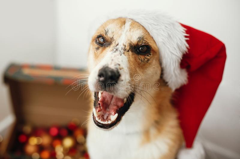 Cute dog in santa hat with adorable eyes and funny emotions sitting in festive room. Merry Christmas concept. Sweet golden doggy. Atmospheric image. Season`s royalty free stock photography
