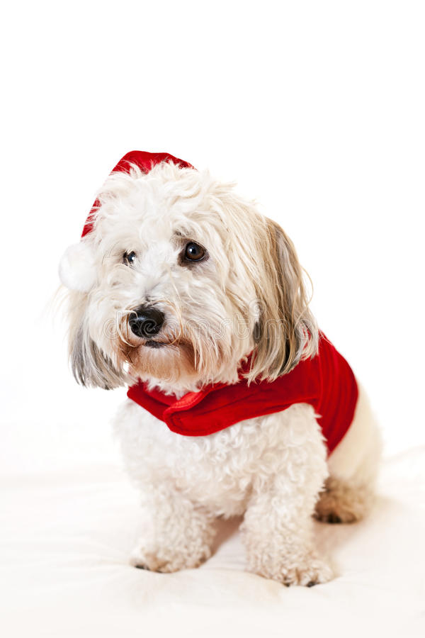Download Cute dog in santa outfit stock photo. Image of outfits - 22124420
