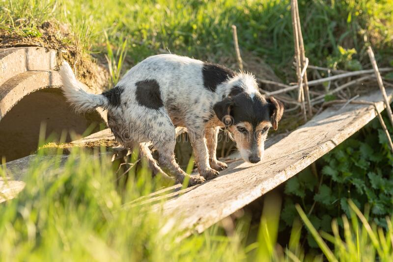 Cute dog is searching in inaccessible area. Small Jack Russell Terrier stock photography