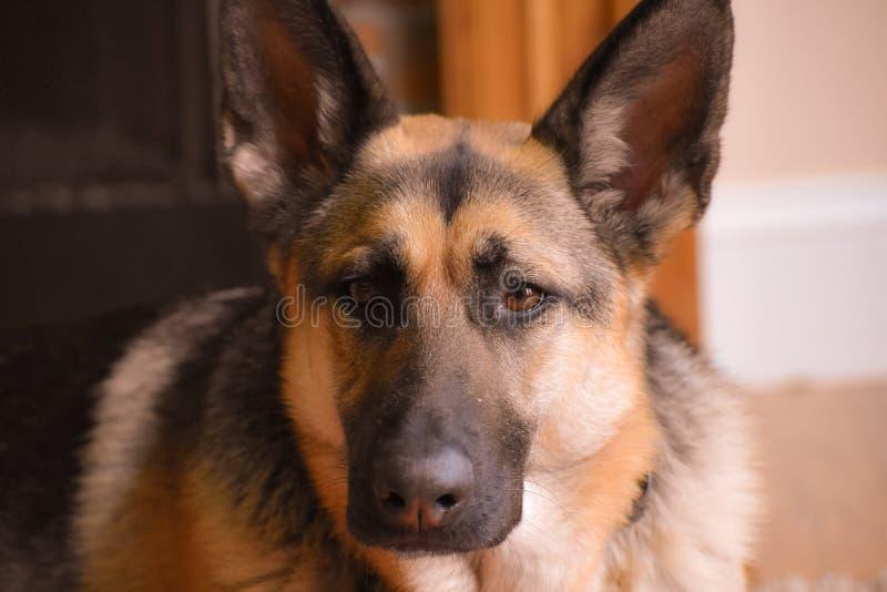 German Shepherd laying down royalty free stock image