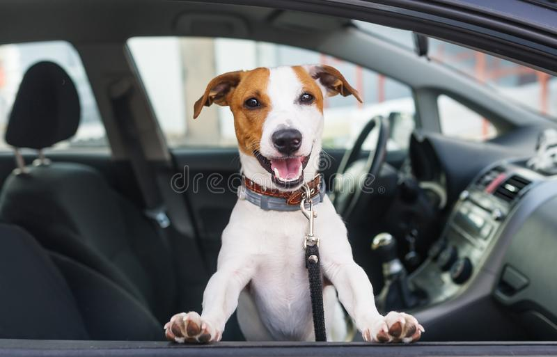 Cute dog sit in the car on the front seat. Closeup stock images