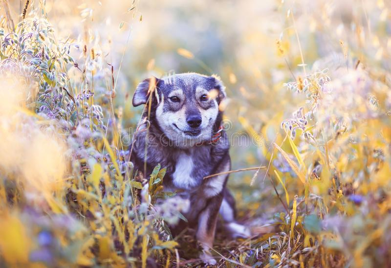 Cute dog sits on a clear Sunny meadow and smiles on a walk on a warm summer day. Cute brown dog sits on a clear Sunny meadow and smiles on a walk on a warm royalty free stock photos