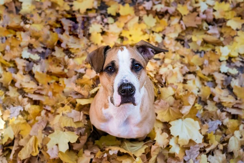 Cute dog sits in a heap of yellow maple leaves. Young staffordshire terrier in beautiful autumn leaves in a park looking up royalty free stock photography
