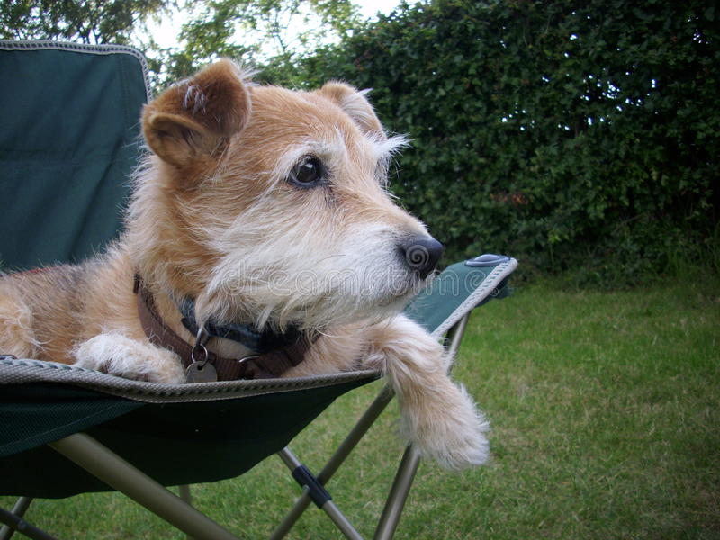 Cute terrier dog on chair. Cute Jack Russell / Yorkshire terrier dog sitting in chair looking chilled. Ears up. One leg hanging over the front edge. Staring stock images