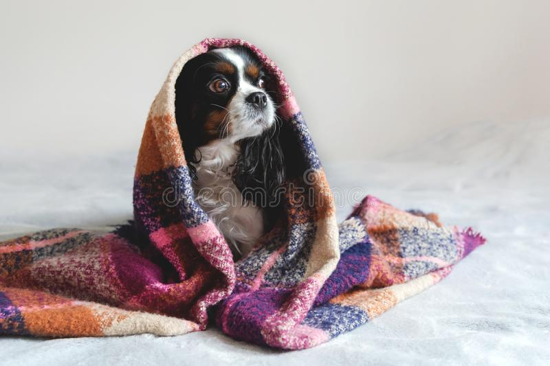 Cute dog sitting under the warm blanket royalty free stock images