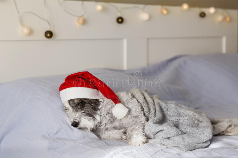 Cute dog sleeping on a human bed with Christmas hat stock photo
