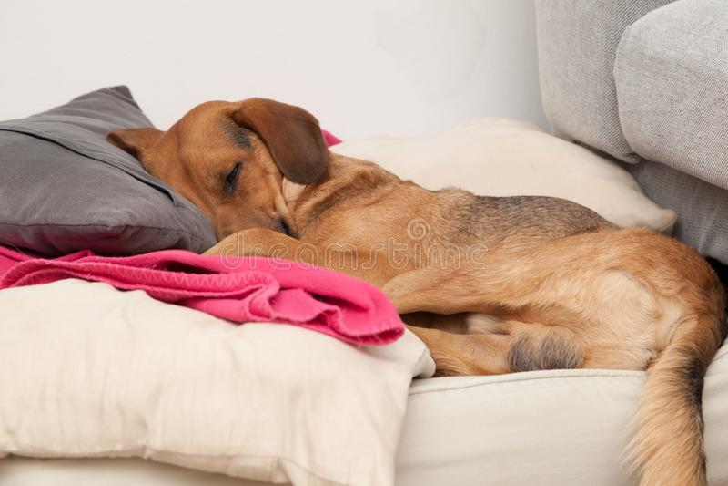 Cute dog sleeping on a pillow. Shot of cute dog sleeping on a pillow stock photography