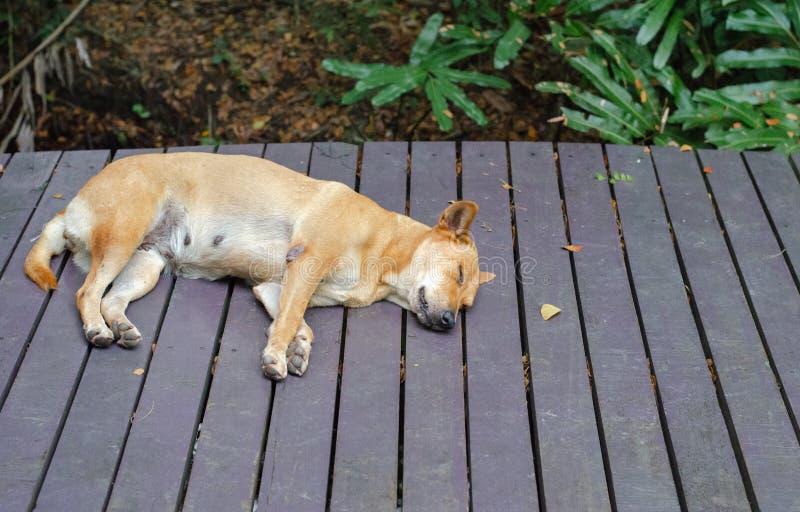 Cute dog sleeping on the wooden slat floor.  stock photography