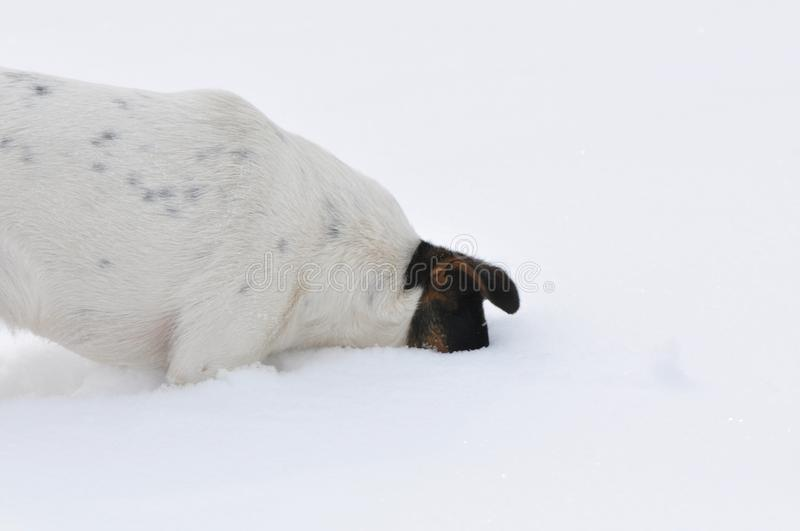 Dog digging a hole in snow stock photography