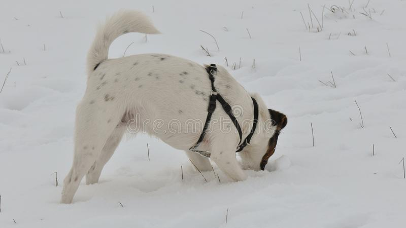 Dog digging a hole in snow royalty free stock photo