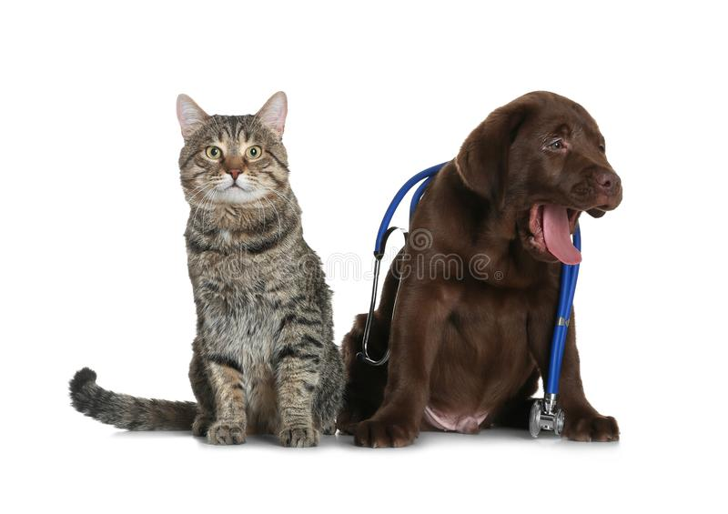 Cute dog with stethoscope as veterinarian and cat. On white background stock photo