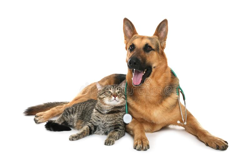 Cute dog with stethoscope as veterinarian and cat on white. Background royalty free stock photos