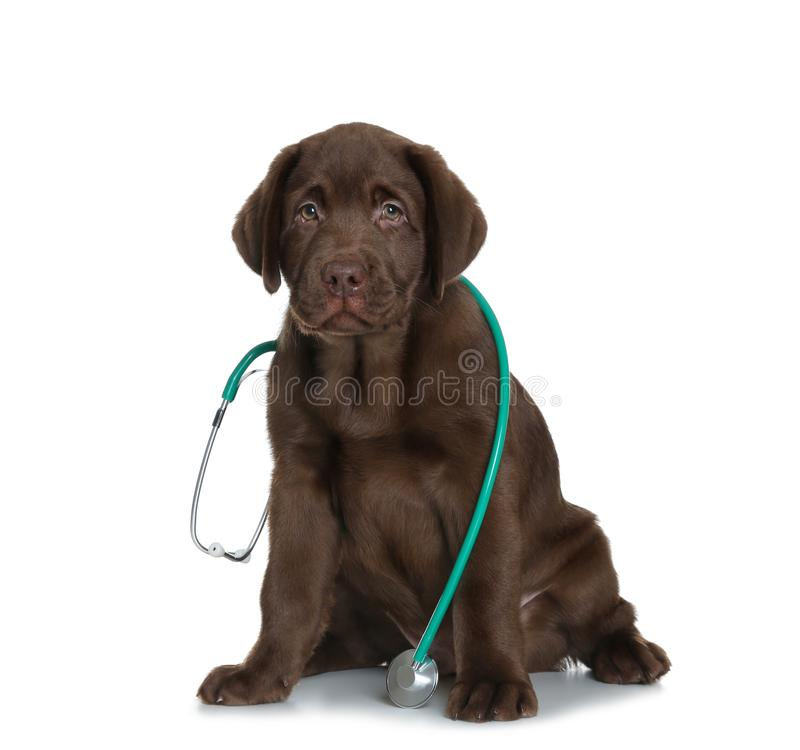 Cute dog with stethoscope as veterinarian. On white background royalty free stock images