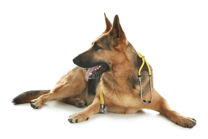Cute dog with stethoscope as veterinarian. On white background royalty free stock photos