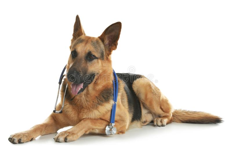 Cute dog with stethoscope as veterinarian on white. Background royalty free stock photos