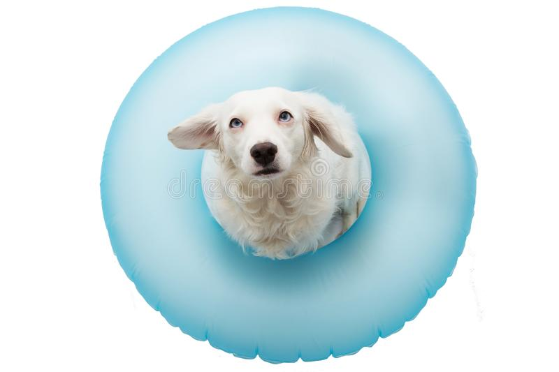 CUTE DOG SUMMER VACATIONS. PUPPY  SUNBATHING WITH BLUE AIR FLOAT POOL. ISOLATED AGAINST WHITE BACKGROUND. CUTE DOG SUMMER VACATIONS. PUPPY SUNBATHING WITH BLUE stock photos