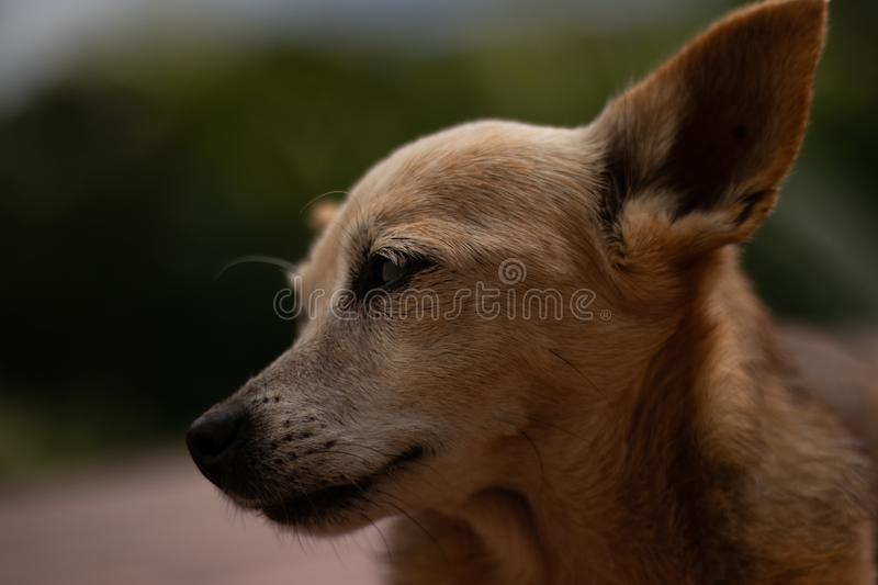 Cute dog take the pose waiting pinscher brown and white melancholic royalty free stock images
