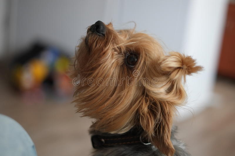 Cute dog to ask look to wait for a lesson to not stray affectionate playful good royalty free stock photo