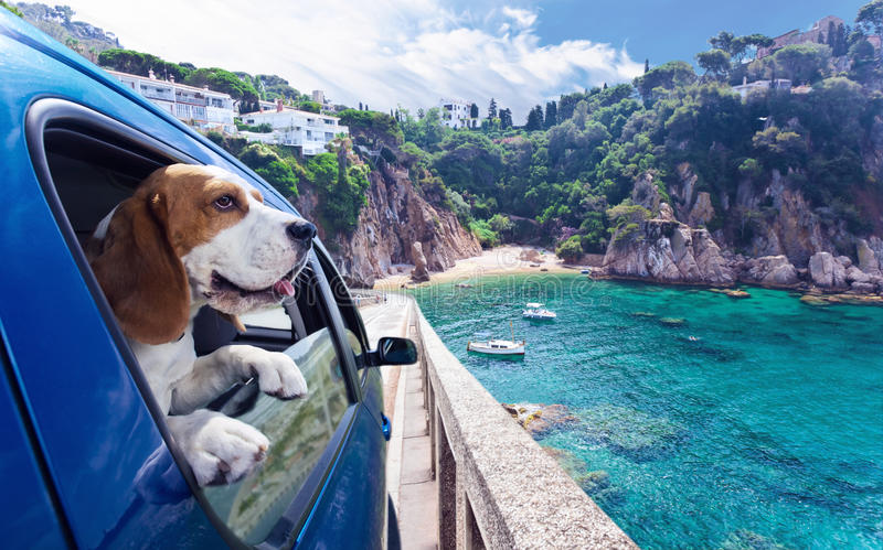 Cute dog travels in car to the sea royalty free stock photos