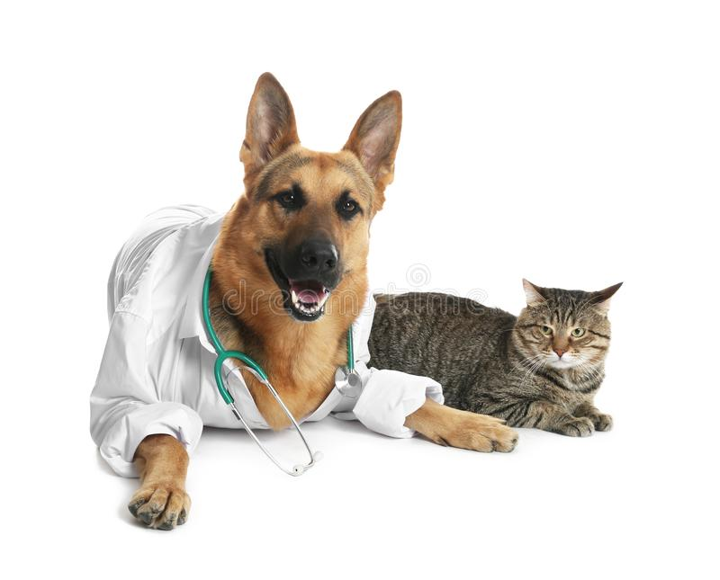 Cute dog in uniform with stethoscope as veterinarian and cat. On white background stock photography