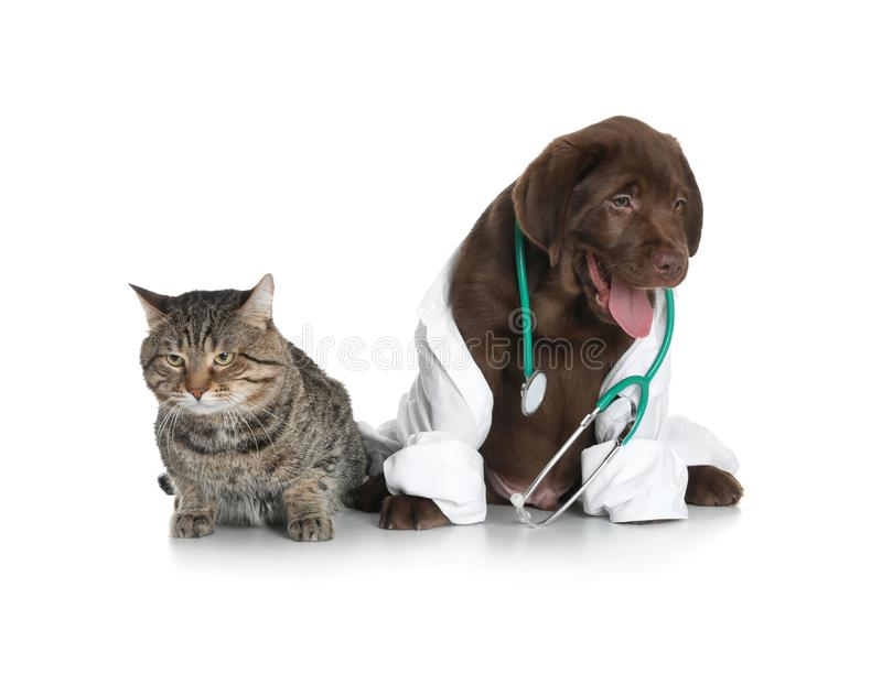 Cute dog in uniform with stethoscope as veterinarian and cat. On white background royalty free stock photos