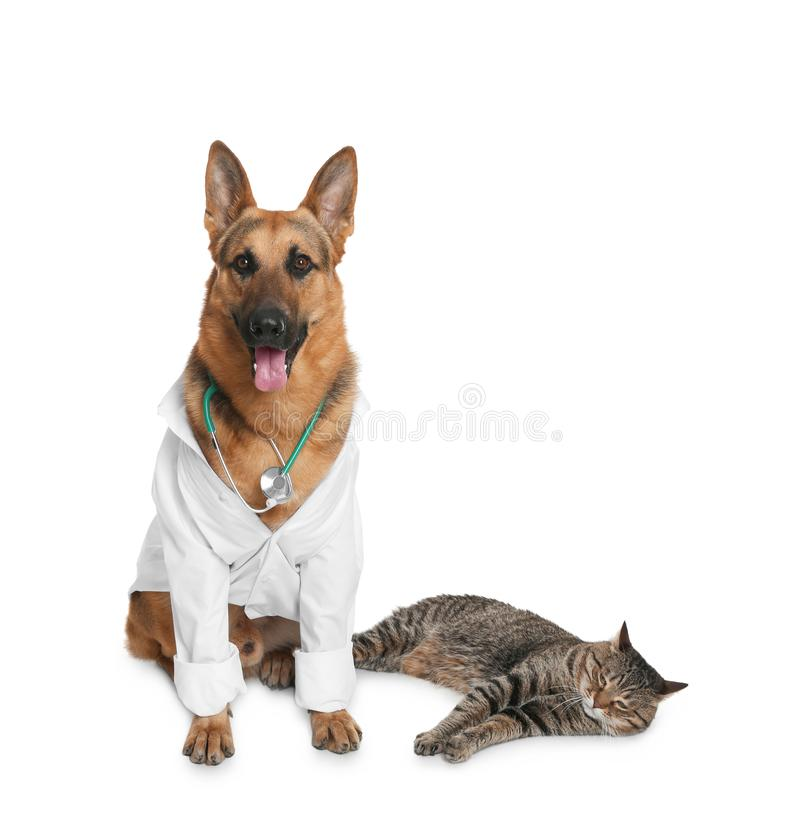 Cute dog in uniform with stethoscope as veterinarian and cat. On white background royalty free stock image