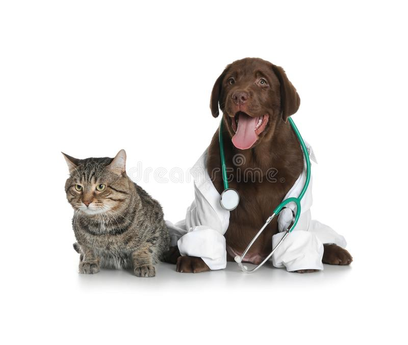 Cute dog in uniform with stethoscope as veterinarian and cat. On white background stock photos