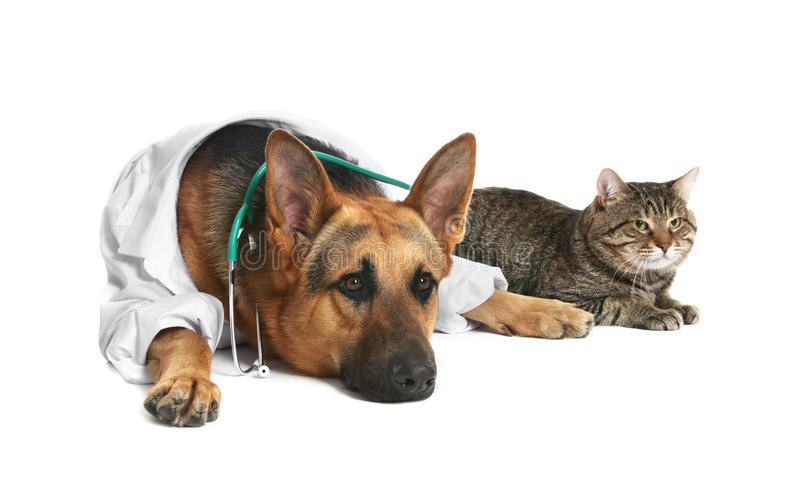 Cute dog in uniform with stethoscope as veterinarian and cat. On white background royalty free stock photography