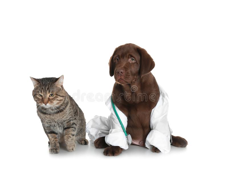 Cute dog in uniform with stethoscope as veterinarian and cat. On white background royalty free stock photo