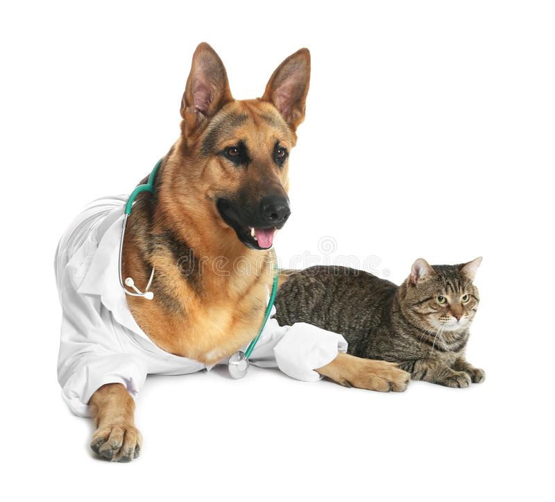 Cute dog in uniform with stethoscope as veterinarian and cat. On white background stock image