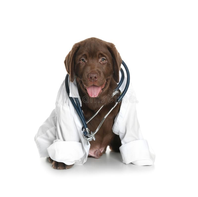 Cute dog in uniform with stethoscope as veterinarian. On white background stock photos