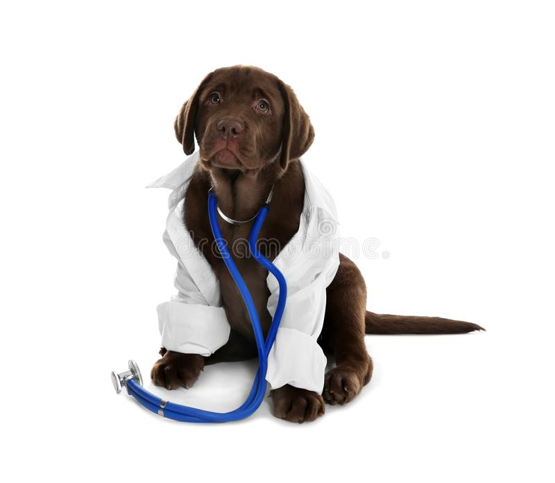 Cute dog in uniform with stethoscope as veterinarian. On white background royalty free stock image