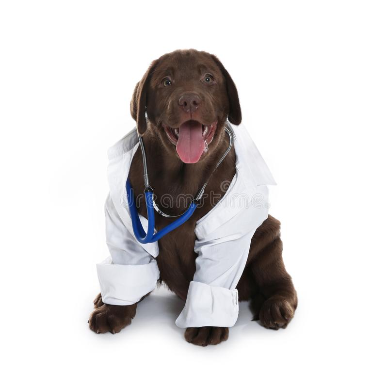 Cute dog in uniform with stethoscope as veterinarian on white. Background royalty free stock photo