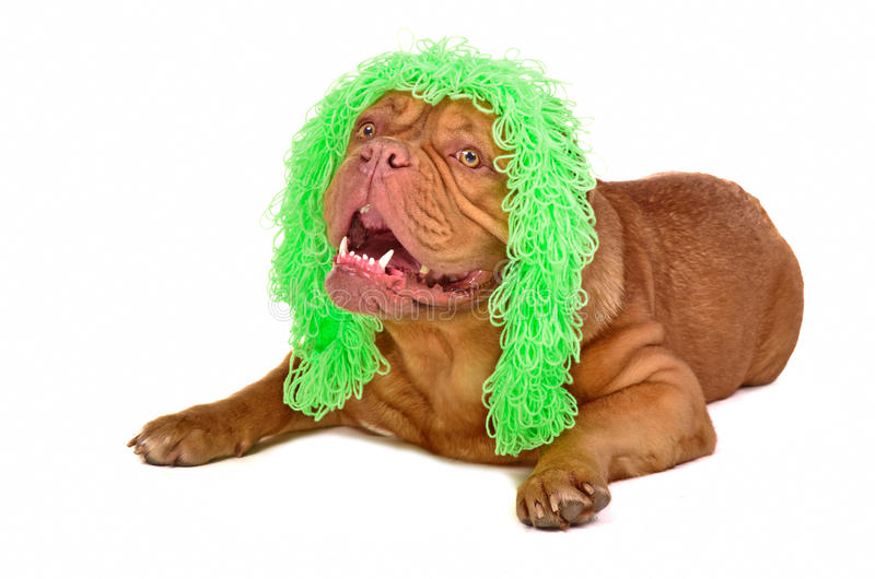 Cute dog wearing funny old-fashioned wig stock image