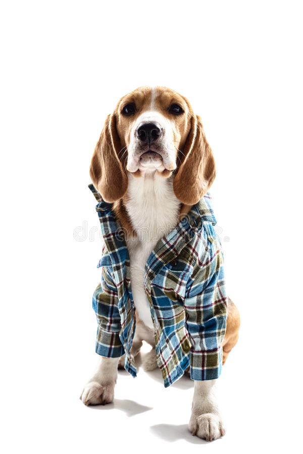 Must see Similar Beagle Adorable Dog - cute-dog-wearing-human-clothing-pretty-beagle-puppy-sitting-blue-shirt-background-72464659  Image_522035  .jpg
