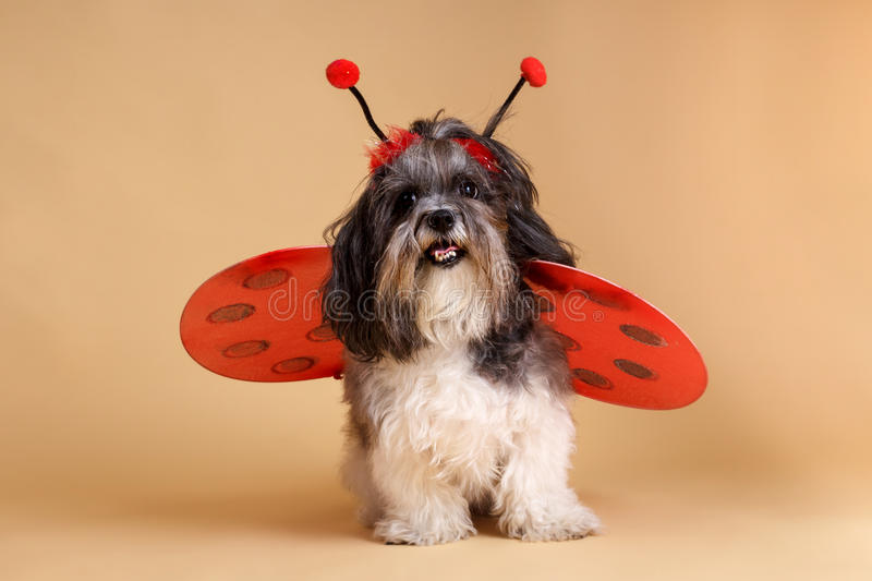 Cute dog wearing ladybird costume. Cute dog dressed up like a ladybug with red wings and antennae. Studio shot of Bichon Havanese dog wearing ladybird costume on stock photography