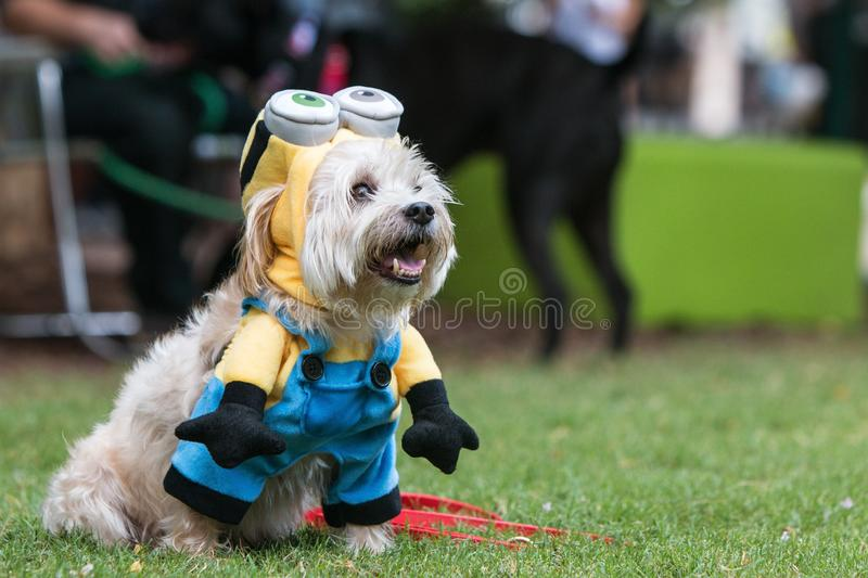 Cute Dog Wears Despicable Me Minion Costume At Doggy Con. Atlanta, GA, USA - August 18, 2018: A cute dog wears a minion costume from the movie Despicable Me at royalty free stock image