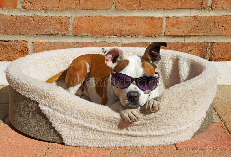 Beautiful Bulldog Brown Adorable Dog - cute-dog-wears-his-sunglasses-relaxes-sun-beautiful-brown-white-bulldog-cross-bed-sunshine-66912215  Snapshot_655033  .jpg