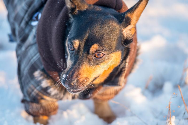 Cute dog in winter with clothes stock images