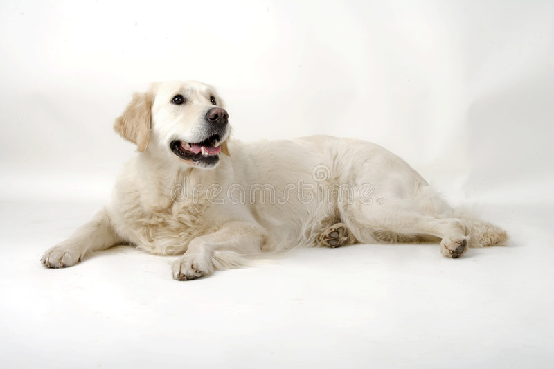 Cute doggy. Cute golden retriever resting in the studio royalty free stock photography