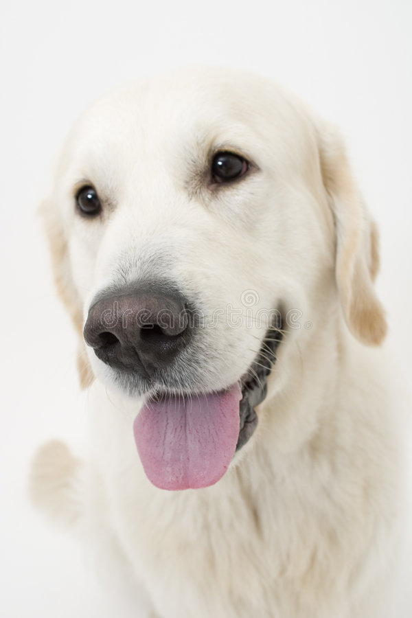 Cute doggy royalty free stock photo