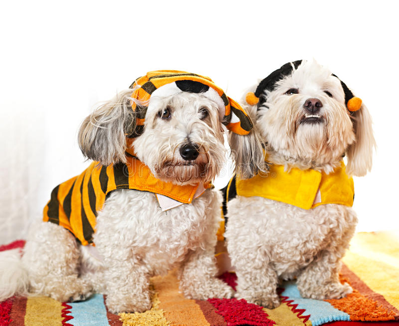 Cute dogs in costumes royalty free stock photography