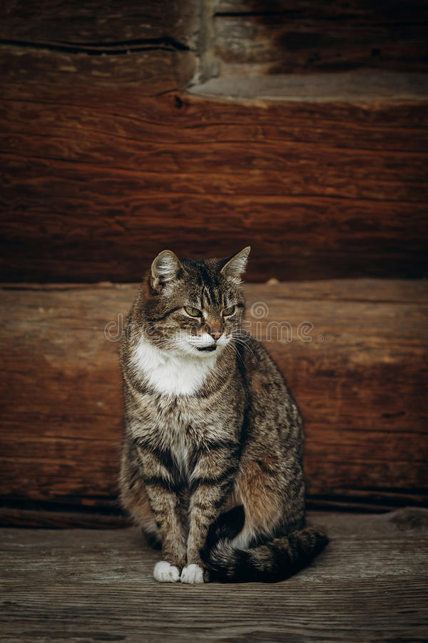 Cute domestic cat sitting on wooden floor near rustic slavic house, funny grey cat posing in countryside outdoors close-up, pet. Animal concept royalty free stock photo