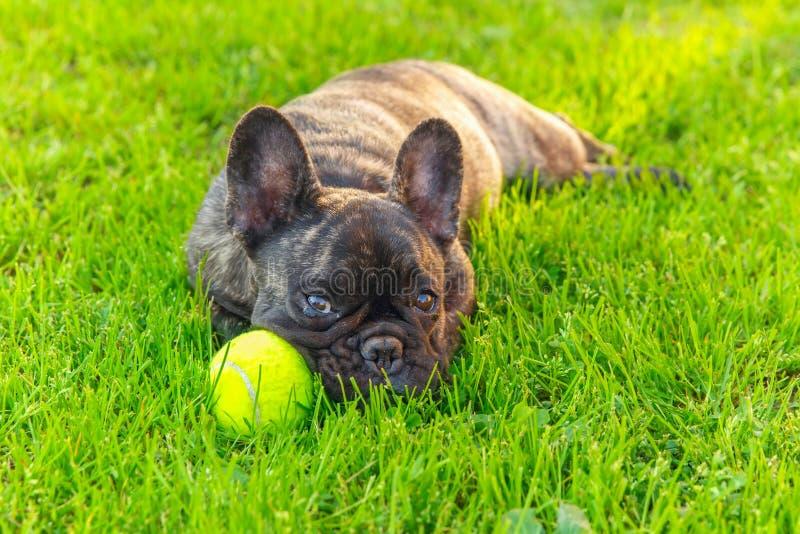Cute domestic dog brindle French Bulldog breed stock image