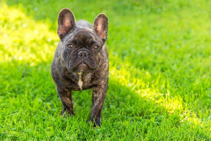 Cute domestic dog brindle French Bulldog breed royalty free stock photography