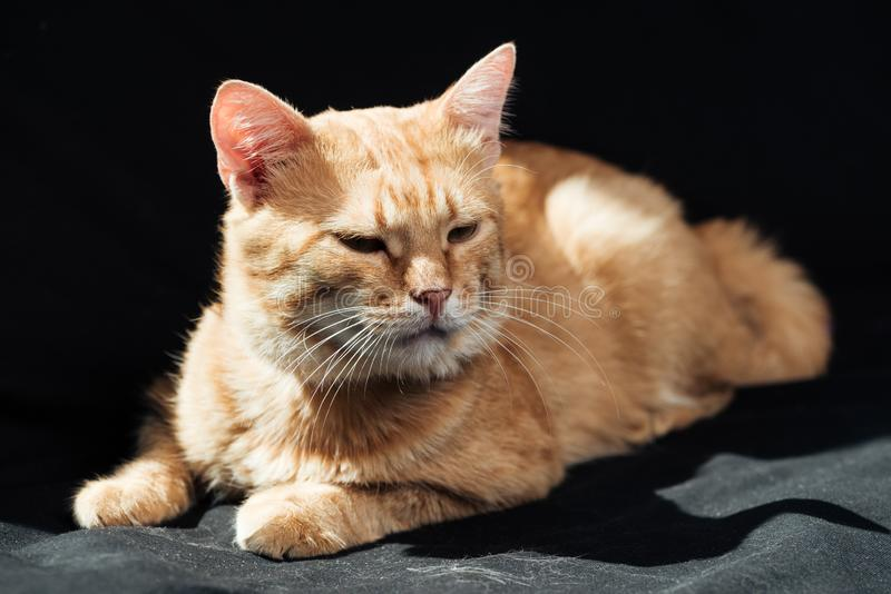 cute domestic ginger cat dozing royalty free stock photography