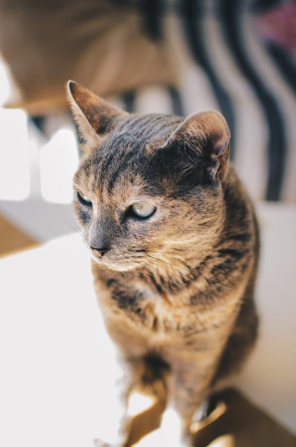 Cute domestic grey cat in a house. A cute domestic grey cat in a house stock photo