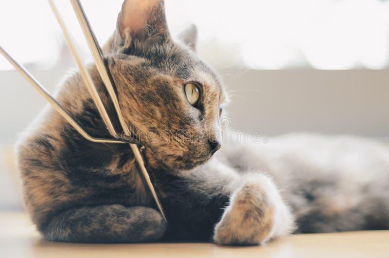 Cute domestic grey cat in a house. A cute domestic grey cat in a house royalty free stock photos