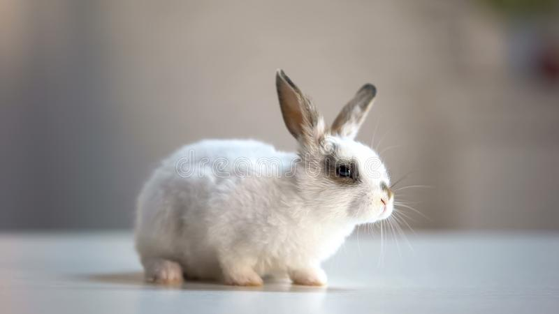 Cute domestic rabbit sitting on table in pet store, good present for children. Stock photo royalty free stock image