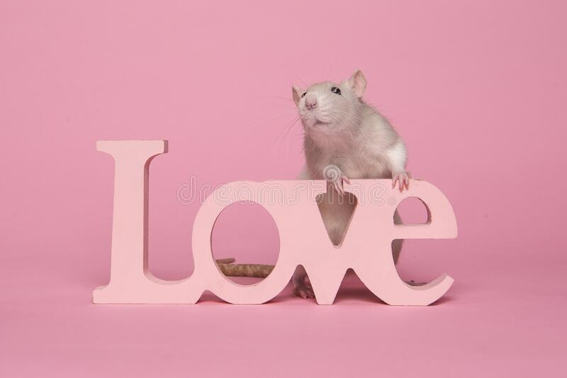 Cute domestic rat sitting on pink letters making word love a pink background royalty free stock photos
